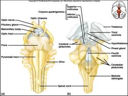 Displayimage besides Team besides Sderegulationandresiliency as well Grain5 3 furthermore Limbic System Anatomy. on brain nervous system