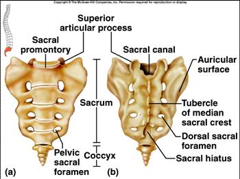 Peripheral Nervous Systems Spinal in addition 6252445 also 9710232 further 7048654 moreover 5600369. on posterior dorsal body cavity